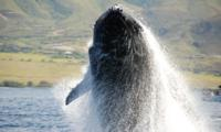 Thumbnail image for December 'Spotlight on Maui': Ten Facts To Know For Whale Watching in Maui