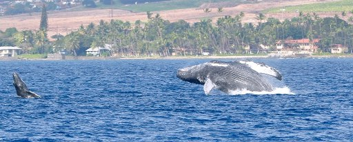 Humpback Mom and calf in maui