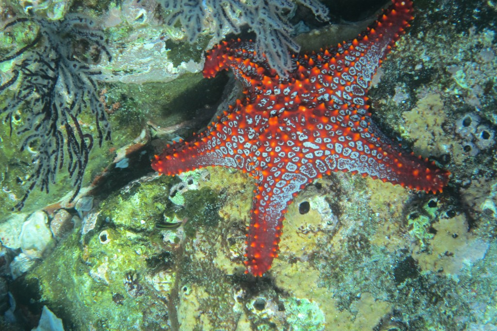 A starfish in the Sea of Cortez outside of La Paz Mexico