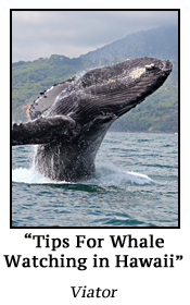 Tips For Whale Watching in Hawaii